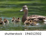 Mother Duck   Mallard Duck ...