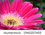 Macro of a pink gerbera at the...