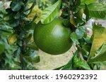 Crescentia Cujete Fruit With A...