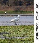 Great Egret   Walking In Water.