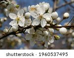 Small photo of Flowering fruit tree in spring. White small flowers of Mirabelle plum, also known as mirabelle prune or cherry plum (Prunus domestica subsp. syriaca).