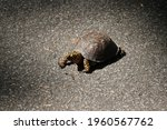 Small photo of A tortoise preparing to devour a fat worm. A tortoise is mostly a land dweller using its clawed feet to get around as opposed to his aquatic cousin the turtle who has webbed feet.