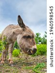 Funny Adorable Donkey Grazing...