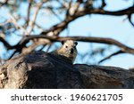 Hyrax Sitting On A Stone In The ...