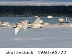 Migrating swans congregating on the shores of Marsh Lake in spring time on their way to the Bering Sea in Alaska. Swan in flight in foreground and others in water in background.