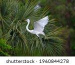 Great Egret Flying To Nest...