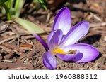 Vibrant Purple Blooming Crocus...