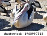 Pelican Sitting Crouching...