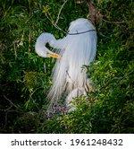 Great Egret Preening Breeding...