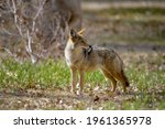 Lone Coyote  Canis Latrans ...