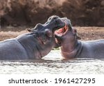 Hippo In Tsavo West National...