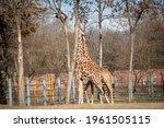 two beautiful giraffe is huging ...   Shutterstock . vector #1961505115