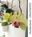 The Moon Orchid  Phalaenopsis...