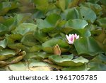 Pond With Water Lily Leaves....