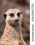 Meerkat On Guard Duty. Meerkat...