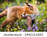 Small photo of Portrait of a Beautiful and Curious Red Fox Cub Encountered near Bekkarfjord in Laksefjorden, Finnmark, Norway