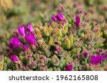 Fresh Flowering Of Delosperma...