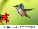 Rufous Hummingbird In A Hover...