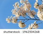 Branch Of Yoshino Cherry...