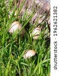Toadstool Mushrooms In Green...