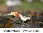 Javan Pond Heron Bird Ardeola...