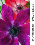 Cosmos Bipinnatus  Commonly...