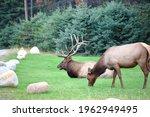 Elk In Jasper National Park ...