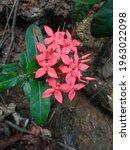 Red Ixoras  Jasmine Flower With ...