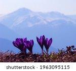 Crocus Heuffelianus   Purple...