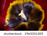 Opened Petals Of A Tulip With...
