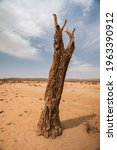 Dead Quiver Tree Remains In...