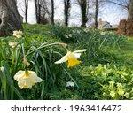 Beautiful Daffodils Flowers...