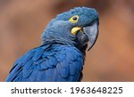 Close Up View Of A Lears Macaw  ...