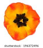 Single Orange Tulip Isolated O...