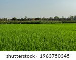 Maize Or Corn Trees And Large...