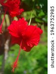 Brilliant Red Weeping Hibiscus...