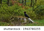 Black Woodpecker Sitting On The ...