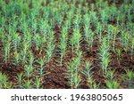 Small Thuja Seedlings. Growing...