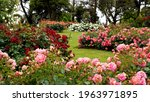 Rose Garden.  Beautiful Display ...