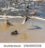 A Flock Of Ducks On A Pond With ...