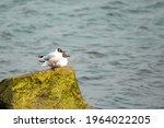 A Pair Of  Black Headed Gulls...