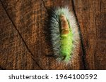 Top View Of Pale Tussock ...