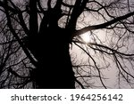 Silhouette Of A Huge Old Tree...