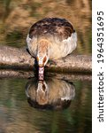 Egyptian Goose Drinking Water...