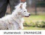 alopecia disease samoyed dog....   Shutterstock . vector #1964464138