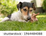 Small Cute Jack Russell Terrier ...