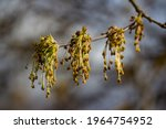 Inflorescences Of Ash Leaved...
