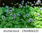 Viola Hederacea Commonly Known...