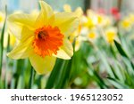 Blooming Yellow Daffodil With...