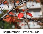 Cherry Blossom Leaves That...